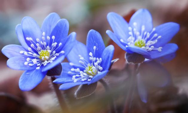 wild garden hepatica flower