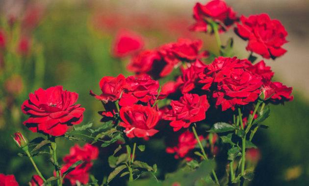 rose gardening for beginners